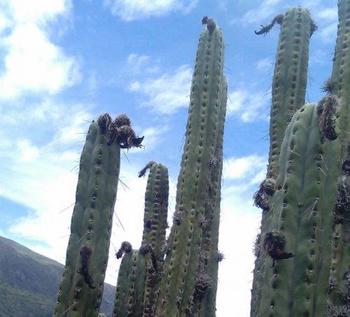 Trichocereus Peruvianus 'Huari' (cactus)
