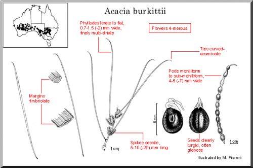 Acacia Burkittii – Fine Leaf Jam (seed)