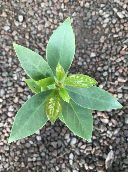 Illicium Verum – Star Anise (plant)