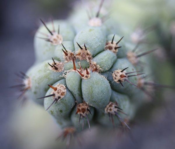 Matucana Sausage Cactus