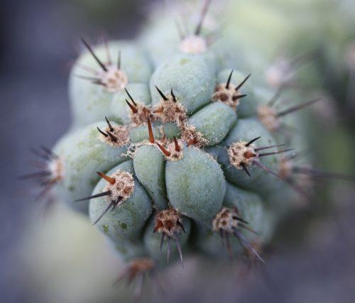 Trichocereus Peruvianus 'Matucana Sausage Cactus' (cactus)