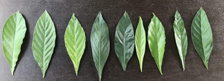 Psychotria hybrid leaves