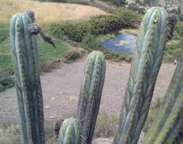 Trichocereus Peruvianus Machcas