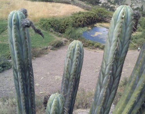 Trichocereus Peruvianus 'Machcas' (cactus)