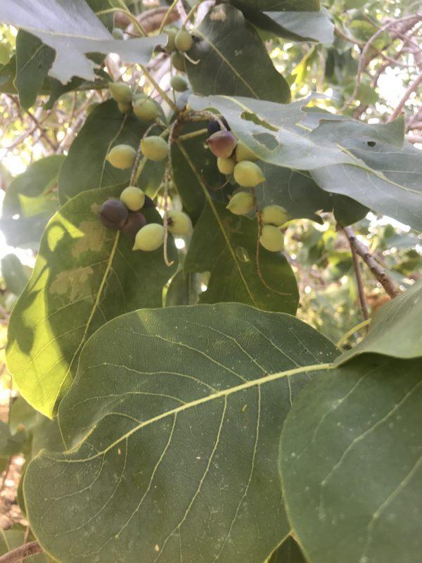 Terminalia ferdinandiana x T. petiolaris