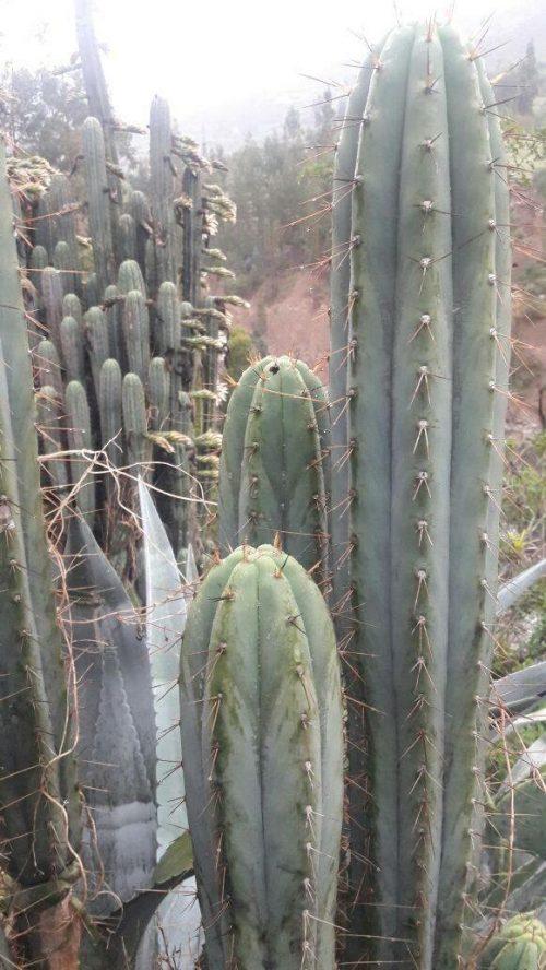 Trichocereus Peruvianus 'San Marcos' (cactus)
