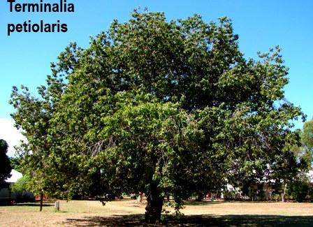 Terminalia Petiolaris – Marool Plum (plant)