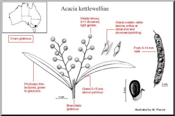 Acacia kettlewelliae