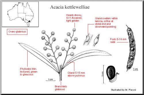 Acacia Kettlewelliae – Buffalo Wattle (seed)