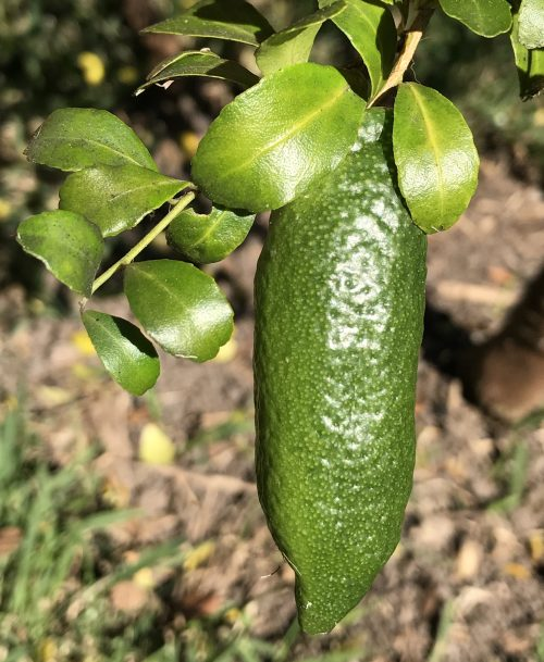 Citrus Garrawayi – Mount White Lime (plant)