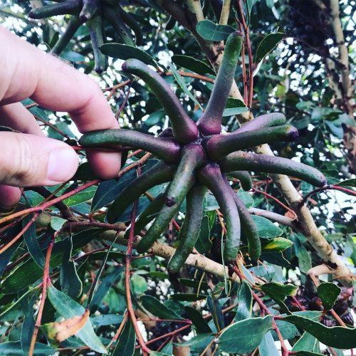 Eucalyptus Lehmanii