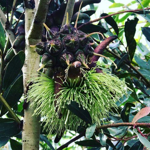 Eucalyptus Lehmanii – Bushy Yate (seed)