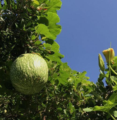 Cucurbita Ficifolia – Chilacayote (seed)