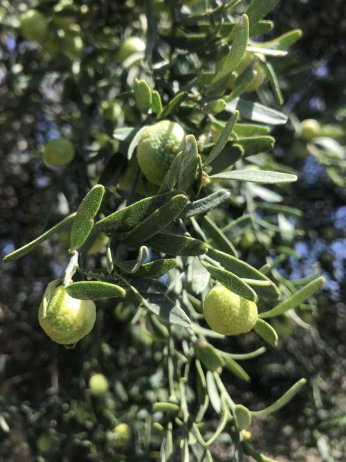 Citrus Glauca – Desert Lime (plant)