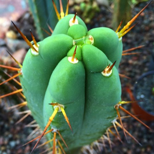 Trichocereus JG X (T. Pachanoi X SS02) X T. Bridgesii 'Psycho0' (seed)