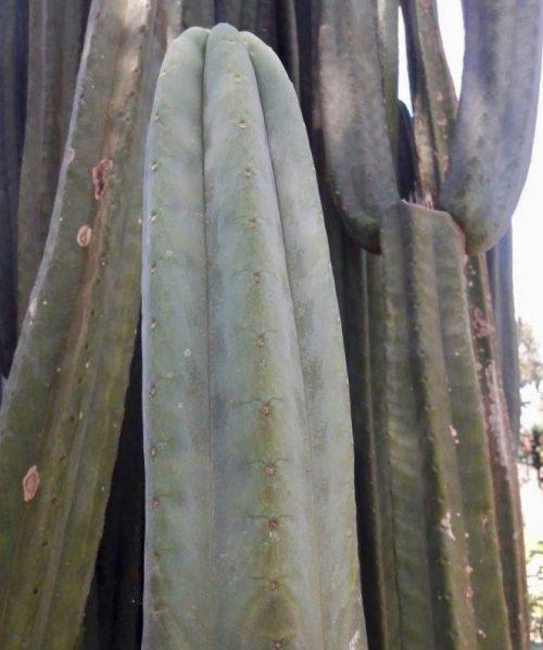 Trichocereus Pachanoi 'Ichma' (cactus)