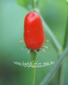 Capsicum Chacoense – Covincho Chilli (plant)