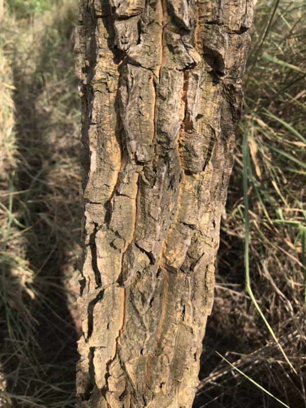 Duboisia leichhardtii