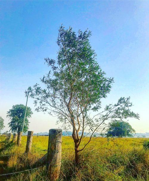 Duboisia Leichhardtii – Corkwood (plant)