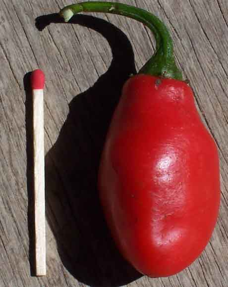 Capsicum Pubescens 'Red Rocoto' (seed)