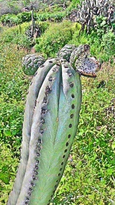 Trichocereus Pachanoi 'Sin Espina' (cactus)