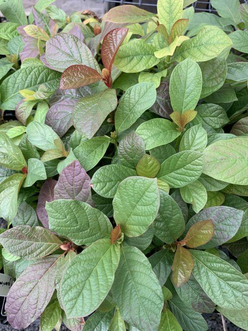 Mitragyna Diversifolia – Kra Thum Na (plant)