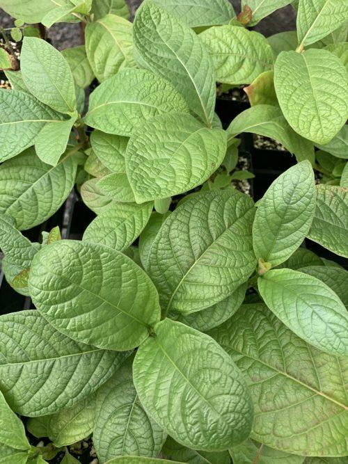 Mitragyna Hirsuta – Kra Thum Khok (plant)