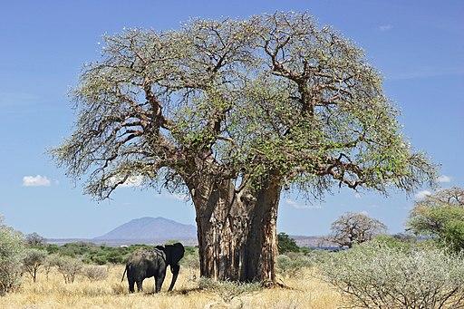 Adansonia Digitata – Baobab (plant)