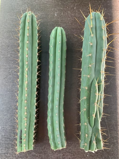 The Necessity Of Proper Hygiene In Columnar Cacti Propagation