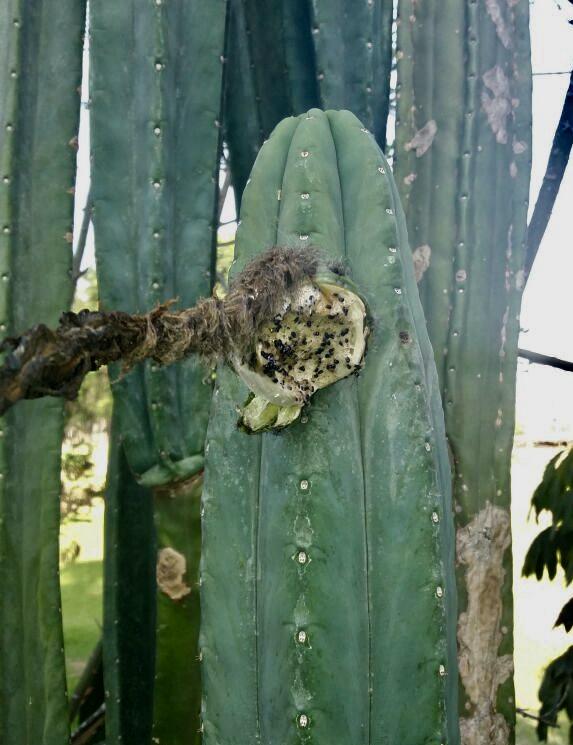 Trichocereus Pachanoi 'Ayni' (seed)