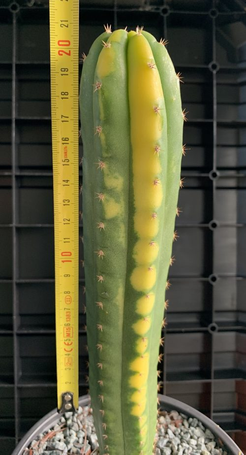 Trichocereus Pachanoi – Matucana Variegata (200mm Cutting)