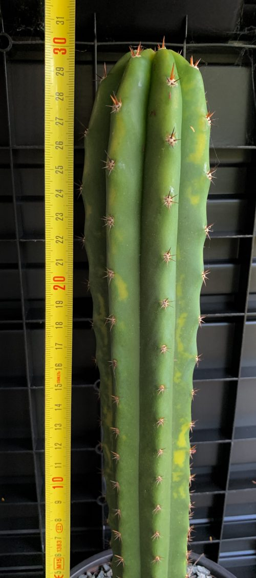 Trichocereus Pachanoi – 'LMP' Variegata (300mm Cutting)