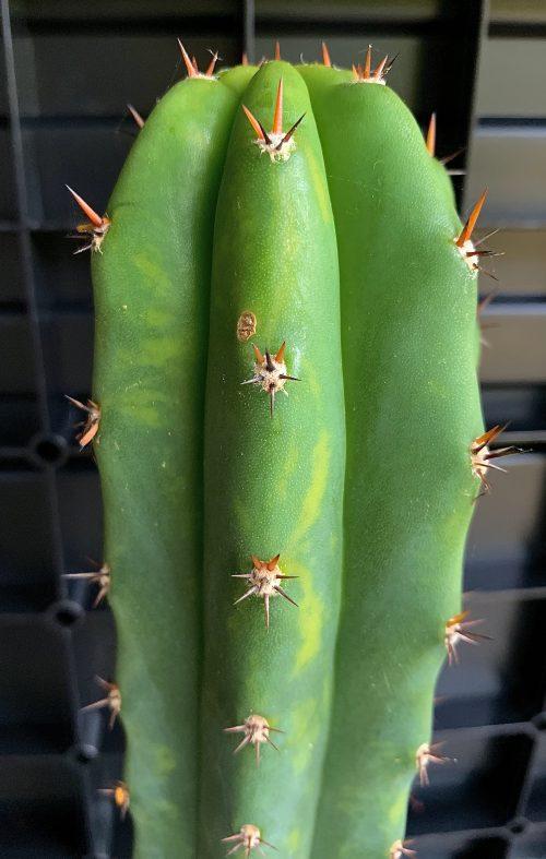 LMP variegata