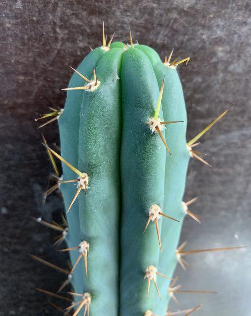 Trichocereus Peruvianus 'Cochao' 30cm Cutting (cactus)