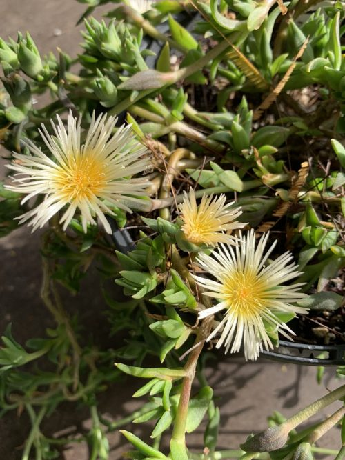 Sceletium Hybrids – Kanna (plant)