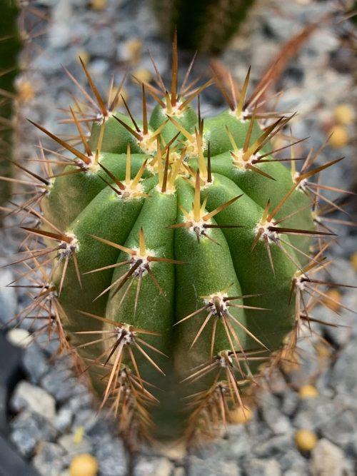 Trichocereus Peruvianus 'Surco' (cactus)