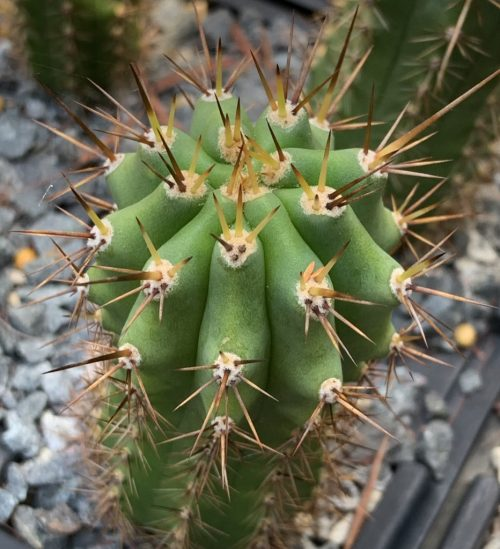 Trichocereus Peruvianus 'San Mateo' (cactus)