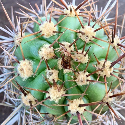 Trichocereus Validus – NL52509A (cactus)
