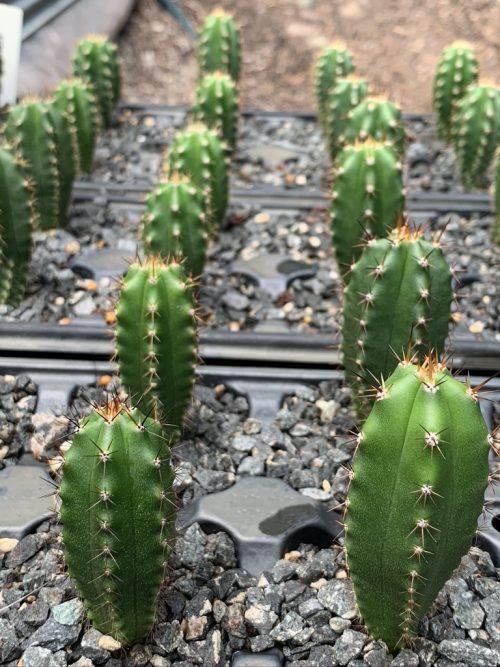 Trichocereus Santaensis 'Quechuas' (cactus)