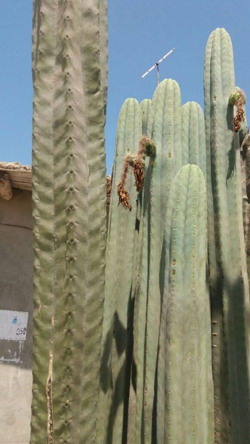 Trichocereus Pachanoi 'Tupac Amaru' (cactus)
