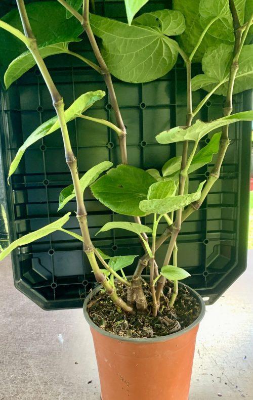 Piper Methysticum – Kava – Large (plant)
