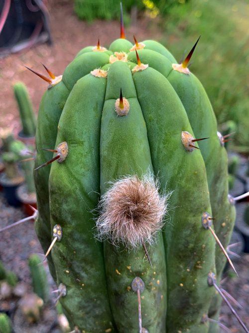 Trichocereus Terscheckii X 'Psycho0' OP (seed)