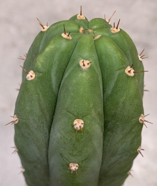 Trichocereus Pachanoi 'San Pedro' KK339 (cactus)