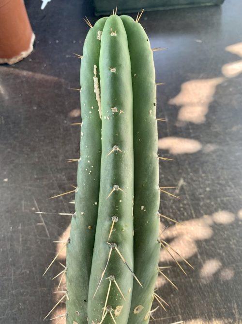 Trichocereus Sp. – Chavin De Huantar BK09509.2 (cactus)