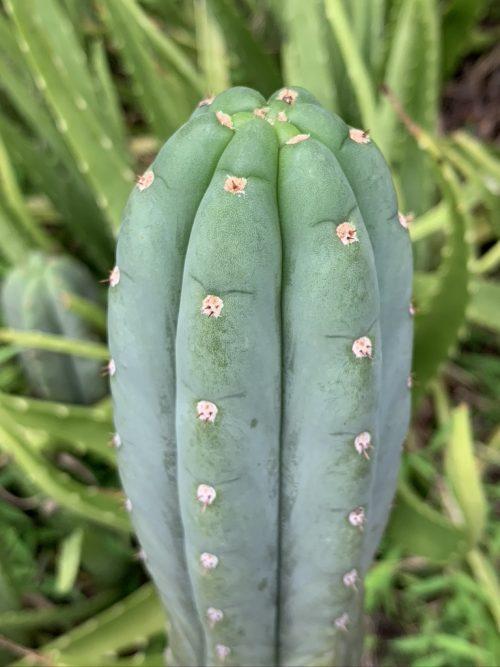 Trichocereus Pachanoi 'San Pedro' ROD (cactus)