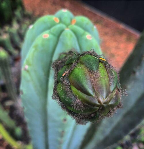 Trichocereus 'HB02' X (T. Scopulicola X T. Bridgesii)(seed)