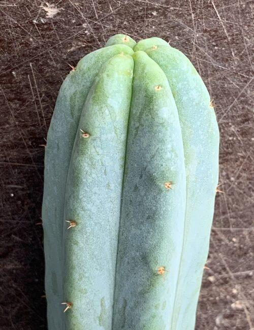 Trichocereus Bridgesii X 'Luther Burbank' (cactus)