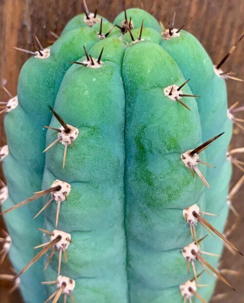 Trichocereus Peruvianus – Sausage (cactus)