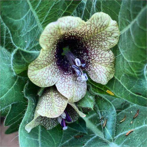 Hyoscyamus Niger – Black Henbane (seed)