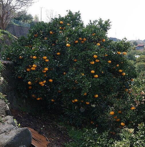 Citrus × Natsudaidai – Amanatsu (plant) QLD ONLY!